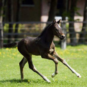 poulain-irish-sport-horseracedechevaux375image4fr1405537188h400